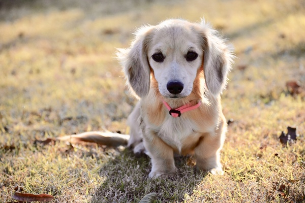 Select Dachshunds | AKC Miniature Dachshunds for sale in Texas